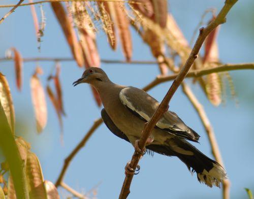 paloma guaje bird