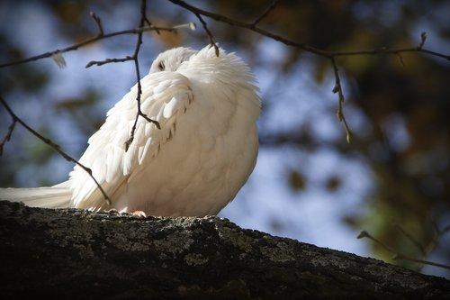paloma  birds  fauna
