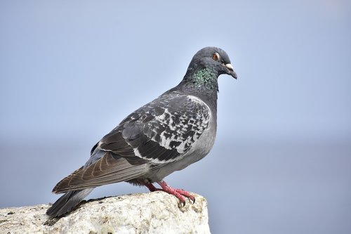 paloma  birds  tenerife