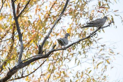 paloma  bird  turtledove