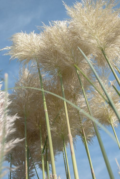 pampas grass ornamental grasses planting grasses