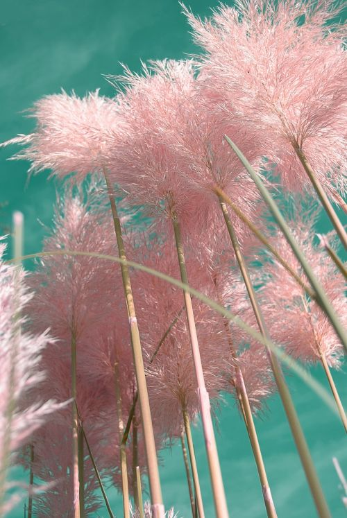 pampas grass ornamental grasses plants