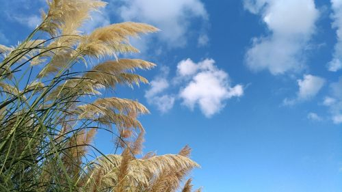 pampas grass poaceae autumn