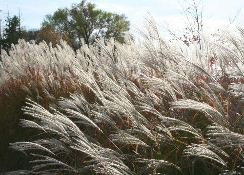 pampų žolė,erianthus,žolė,dekoratyvinė žolė,plume,laukiniai,dekoratyvinė žolė,vasara,gamta,pieva