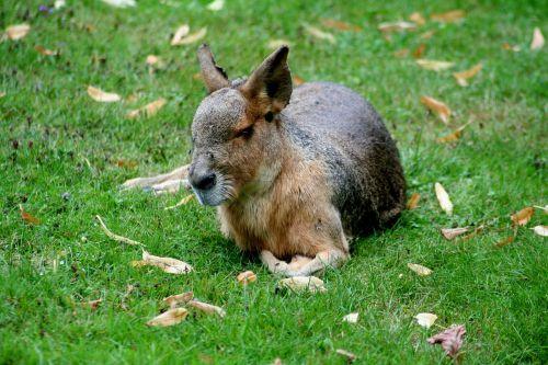 pampashase patagonian mara rodents