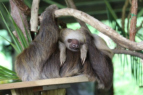 panama  sloth  child