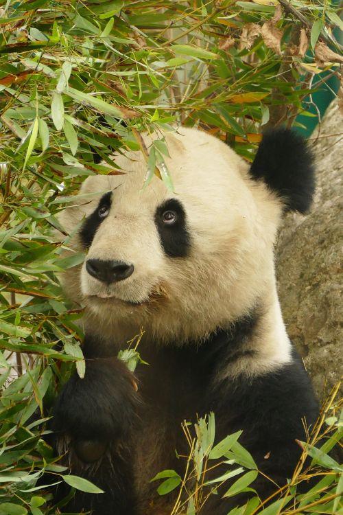 panda animals bear