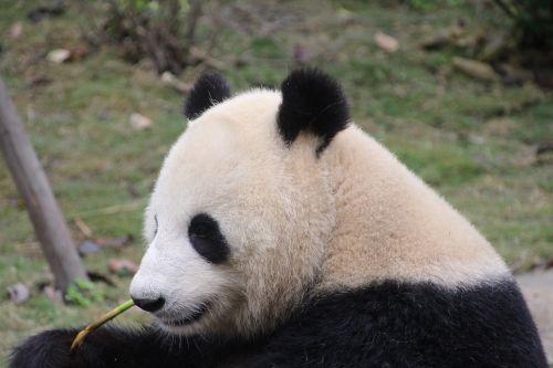 panda panda bear eat