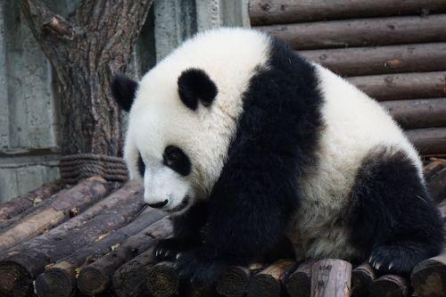 panda adult panda big panda