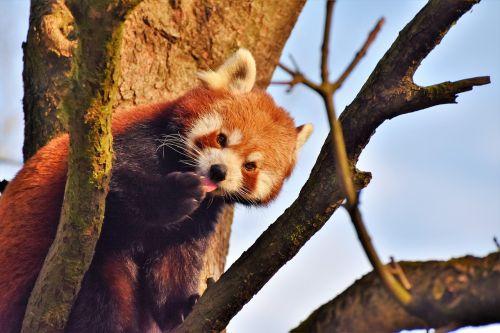 panda panda bear brown panda