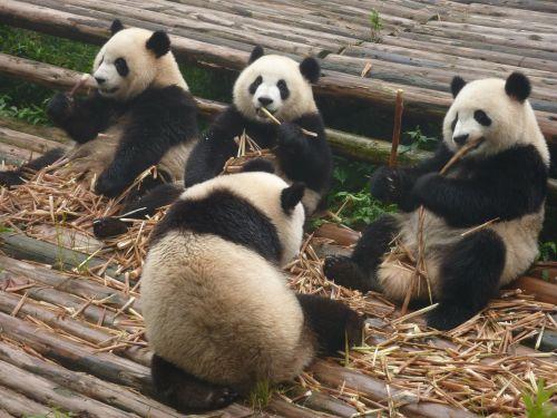 panda giant panda bear