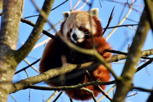 panda brown panda red panda