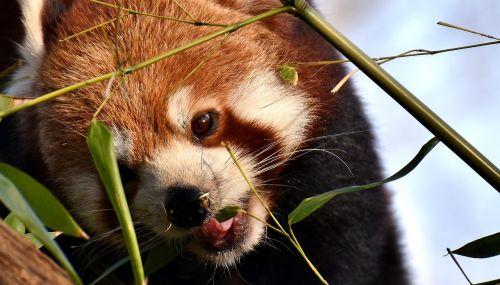 panda, Raudonoji panda, turėti katę, ugnis lapė, ailurus fulgens, plėšrūnas, žinduolis, Himalajus, Pietvakarių Kinija, Kinija, aukso šuo, zoologijos sodas, hellabrunn, tierpark hellabrunn, be honoraro mokesčio