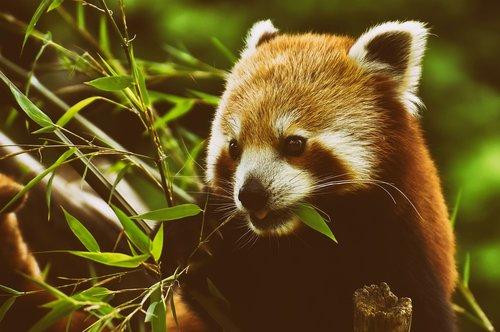 panda  red panda  bear cat