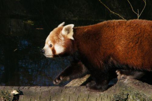 panda red panda panda bear