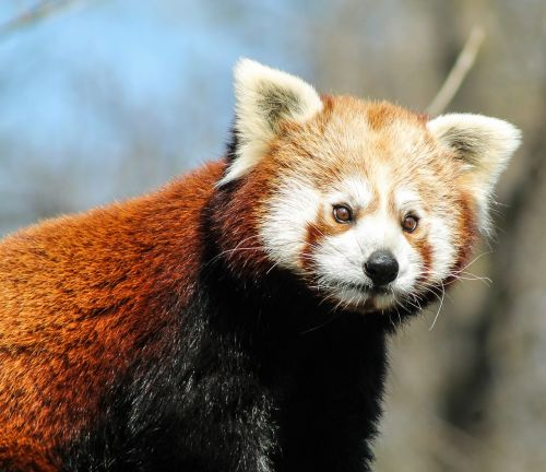 panda,red panda,panda types,nature,ursine,animal,animals,hair,red,zoo,free photos,free images,royalty free