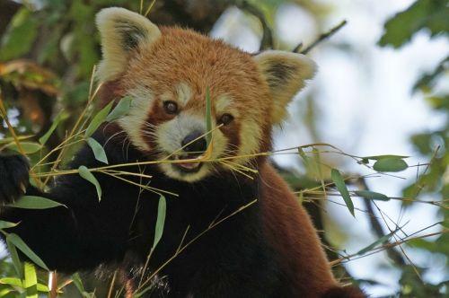 panda climber purry