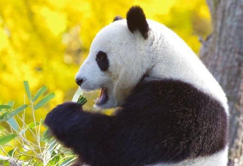 panda bear  china  endangered