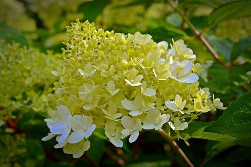 panicle hydrangea hydrangea flowers