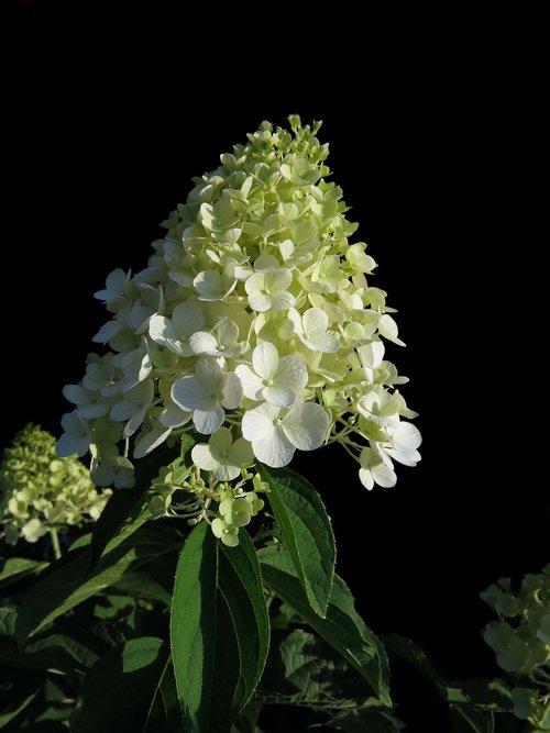 panicle hydrangea  cream-white panicles  hydrangea paniculata
