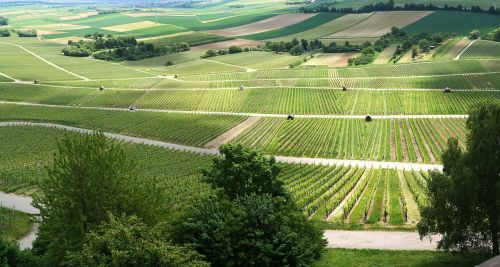panorama vineyards vines