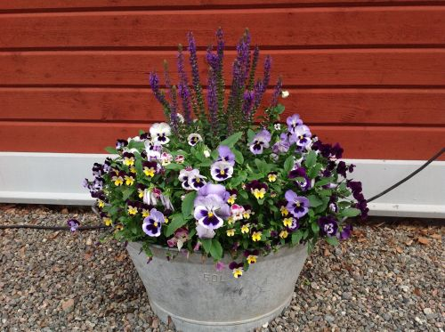pansies summer country