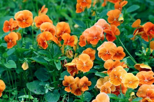 namukai,oranžinė violetinė,gėlės,violets,sodo gėlės,oranžinės gėlės,augalas,geliu lova,vasara,alto tricolor,vasaros gėlės,žydėti