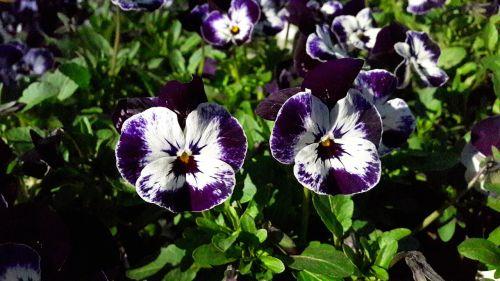 pansies pansy blue