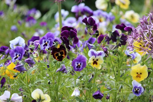 pansies  violet  viola tricolor