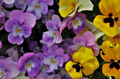 pansies  flowers  yellow