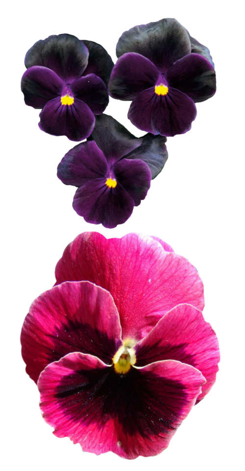 pansies flower pansy