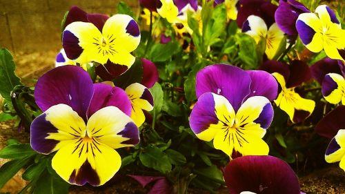pansy flower spring flower
