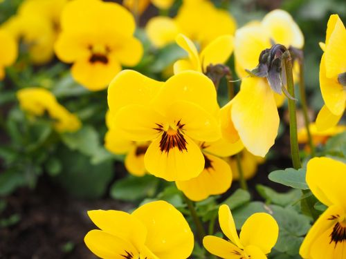pansy flowers bloom