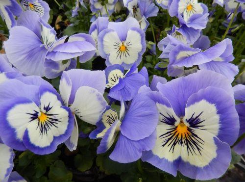 pansy light blue spring