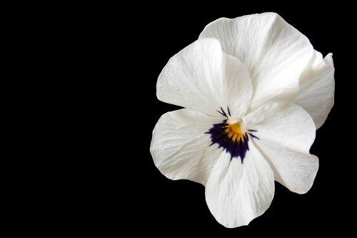 pansy violet blossom