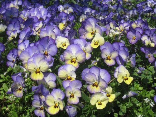pansy sumire purple