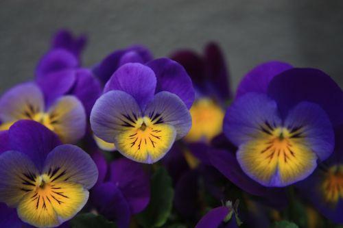 Pansy,violetinė,žemėlapis,romantiškas,pavasario gėlė,violetinė,pavasaris,violetinė gamykla,makro,sodas,400-500,fonas,gėlės