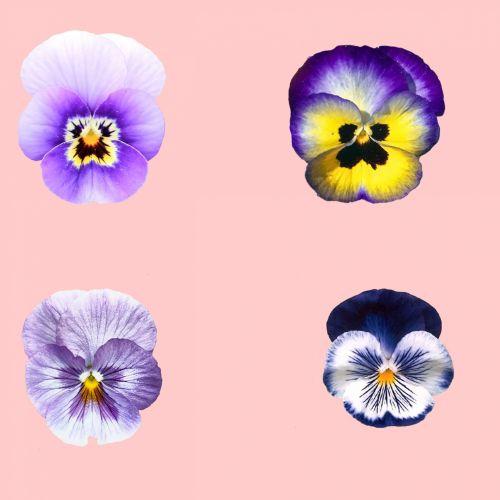 Pansy, gėlė, altas, gėlių, izoliuotas, balta & nbsp, fonas, žydėti, žiedas, Pansy