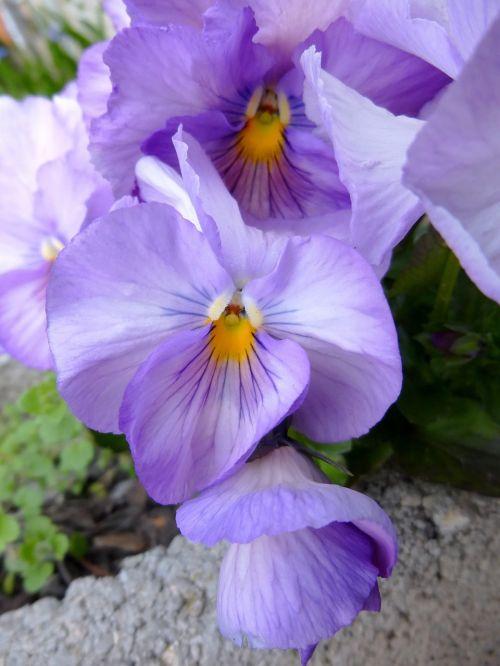 Pansy,gėlė,pavasario gėlė,violetine pansy,gamta,flora,pavasaris