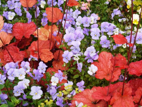 pansy coral bells decorative leaves
