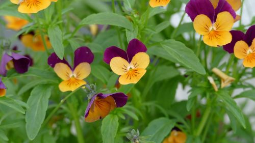 pansy garden garden pansy