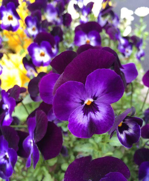 pansy flowers purple