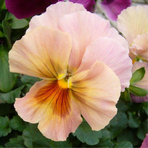 pansy bloom flower