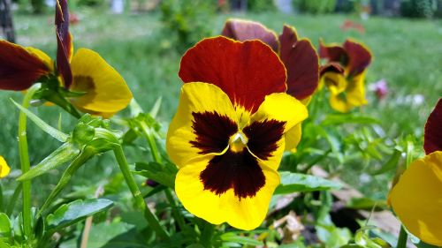 pansy pansy flower viola tricolor