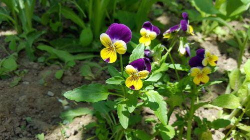 Pansy,vaikiška gėlė,alto tricolor,namukai,geltona ramunė,violetine pansy,sodo skėtis,gėlių vainikas,vaizduokliai,pansionos vaizdas,Pansy nuotrauka,Pansy augalas,gėlė,sodas,gėlių,pavasaris,sodininkystė,pansies atvaizdai,Pansy spalvos,paveikslėliai pansies,daugiamečiai pansies,vaikiškų gėlių vaizdai,Pansy nuotraukos,Pansy sodas,augalas,geltona,altas,gamta,trispalvis