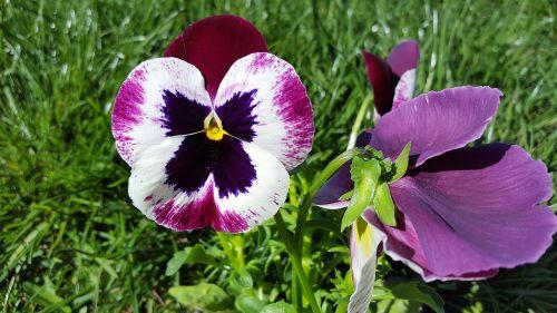 Pansy,vaikiška gėlė,alto tricolor,namukai,geltona ramunė,rožinė pansija,sodo skėtis,gėlių vainikas,vaizduokliai,pansionos vaizdas,Pansy nuotrauka,Pansy augalas,gėlė,sodas,gėlių,pavasaris,sodininkystė,pansies atvaizdai,Pansy spalvos,paveikslėliai pansies,daugiamečiai pansies,vaikiškų gėlių vaizdai,Pansy nuotraukos,Pansy sodas,augalas,geltona,altas,gamta,trispalvis