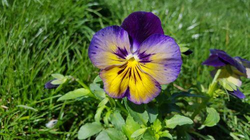 Pansy,vaikiška gėlė,alto tricolor,namukai,violetine pansy,sodo skėtis,gėlių vainikas,vaizduokliai,pansionos vaizdas,Pansy nuotrauka,Pansy augalas,gėlė,sodas,gėlių,pavasaris,sodininkystė,pansies atvaizdai,Pansy spalvos,paveikslėliai pansies,daugiamečiai pansies,vaikiškų gėlių vaizdai,Pansy nuotraukos,Pansy sodas,augalas,geltona,altas,gamta,trispalvis