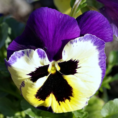 pansy flower blue