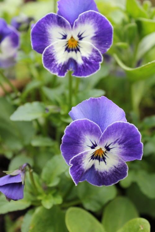 Pansy,gėlė,gamta,mėlynas,violetinė,žydėti,flora,sodas,vazoninis augalas,bi spalva,žiedlapis