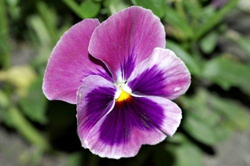 pansy pansies flower
